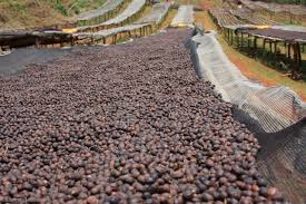 Dry processed coffee on raised beds in Ethiopia
