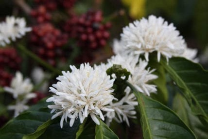 Coffee Flowers- Jeelan Estate