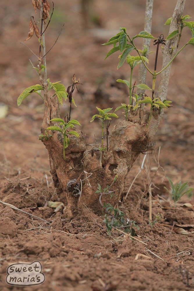 Old Mbozi Mission cultivar