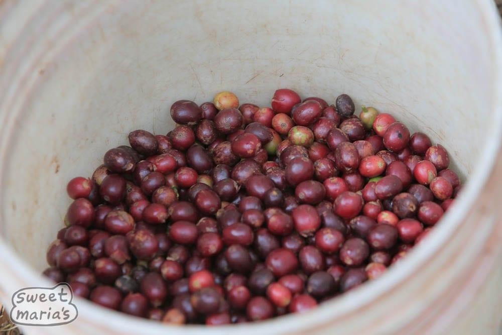 Fresh picking of coffee at Isende