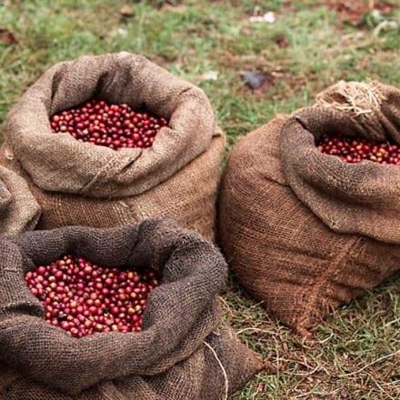 Zimbabwe Coffee Cherry