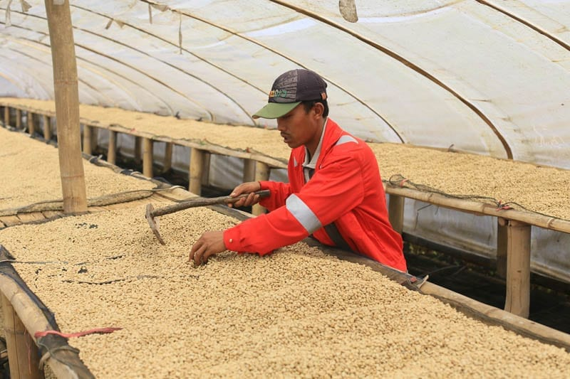 Small scale, raised-bed, covered coffee drying at a site we buy from in Indonesia. This is ideal for higher cup quality.