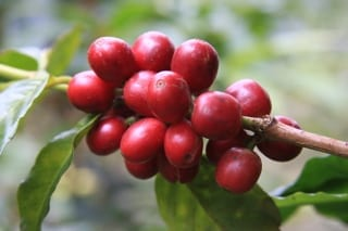 Coffee Cultivar Images: A Photo Set of Coffee Varieties