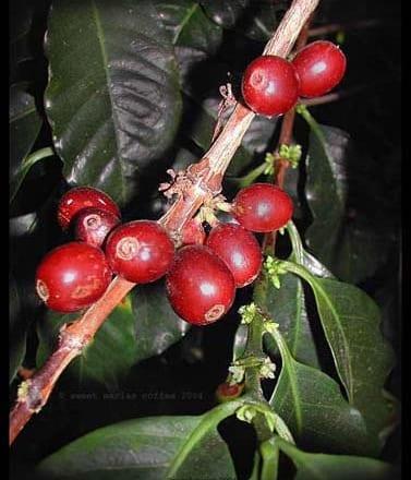 The Coffee Cherry Basics