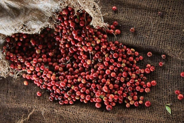 Kenya coffee cherry