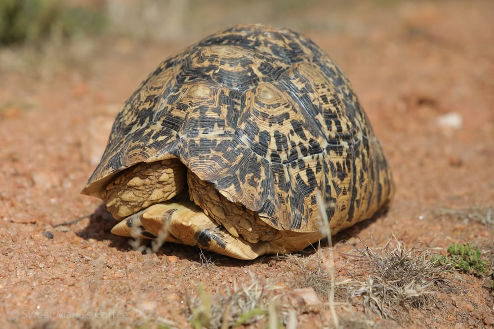 """Guess who is crossing the road near Bule Town? I helped him to the roadside, but he wouldn't come out thank me. I was unaware that Ethiopia had tortoise. This was a very arid desert zone but I'm told they thrive in wetter areas too. I asked Wikipedia and believe this is a leopard tortoise. At the Lodge in Yirg Alem they had one about quadruple the size! The markings we're not so distinct as they are on this younger one which was about 10"""" W x 14"""" L."""