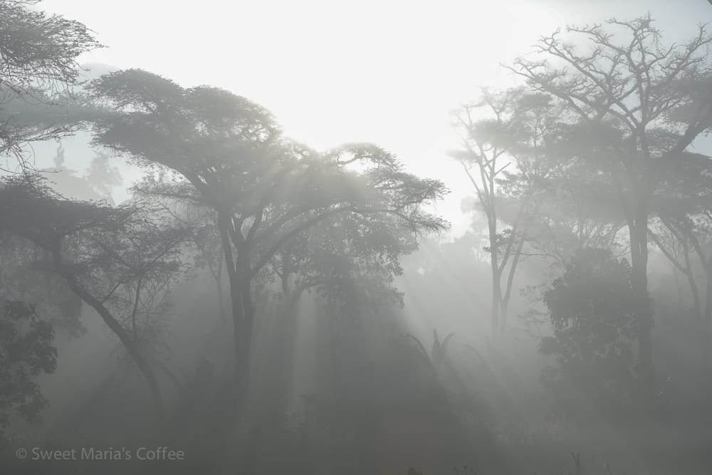 Another amazing and beautiful morning as a heavy mist lays over the coffee Forest. We had camped at Mansiti station and we're headed towards Uraga for the day. It's great to see how many large forest shade trees maintained in coffee growing areas.