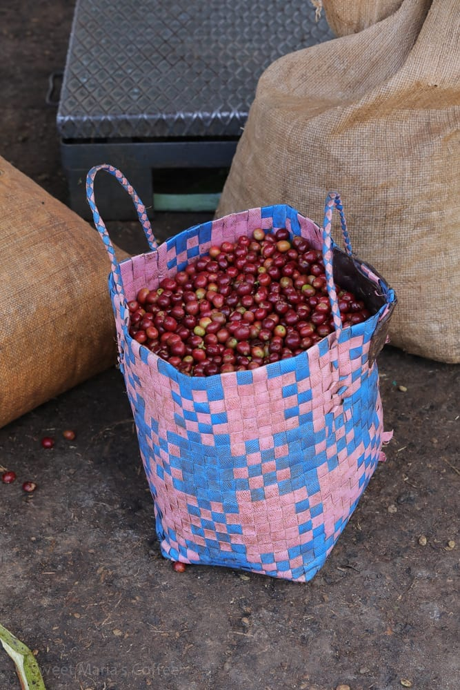 Another favorite last year was Tabe. Hear the coffee cherry is being delivered in bags and baskets. The point of this trip was to visit some of the best farms we bought from last year, and visit some new ones too. It's always important to go back to suppliers and talk to them about their practices, and potential improvements