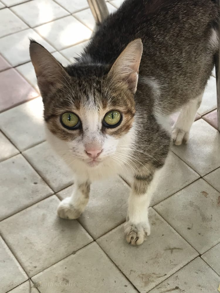 I'm not a cat connoisseur, but it's interesting to see the differences with cats around the world, especially here in Africa as well as in Indonesia. We saw a few been hanging around please tipped back ears, but not this beautiful little guy. He just had says penetrating Jade Green eyes.