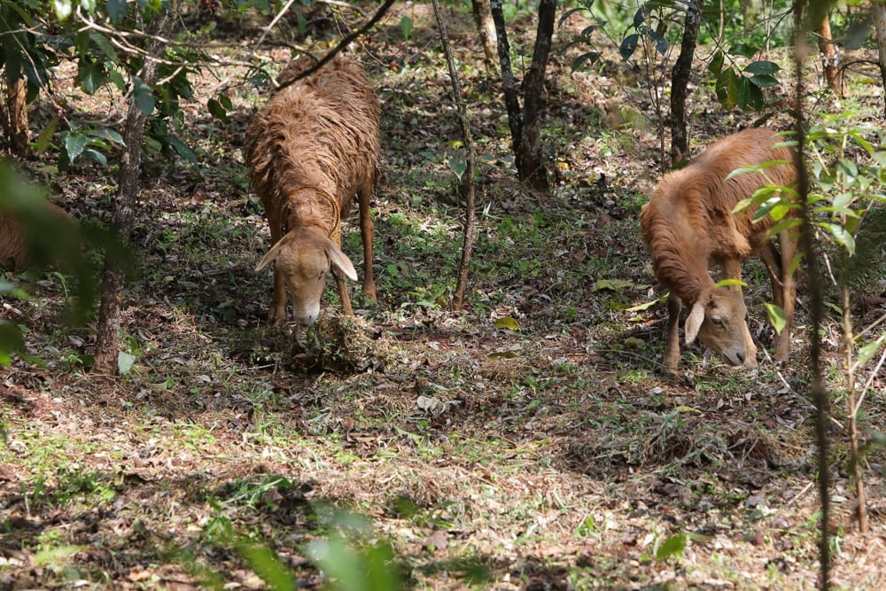 Outside of our first station visit, sheep grazing among the coffee. They're great for controlling weeds which might compete with the coffee plants. There's the myth that goats and sheep eat coffee ... and  given that goats eat anything, I'm sure it's true. I've seen this effective form of weed control in many places. And it's such a win-win:  Fattening up the livestock for a future feast and controlling the weeds growing around coffee without using any chemicals. (Not that they use sprays in Ethiopia for weed control...)