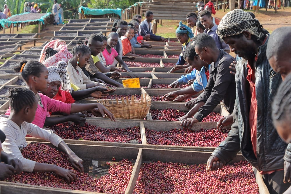 Our next visit was to the station we brought in last year, and really loved. They were preparing natural coffees at this time, hand selecting the coffee cherries. Yirga Cheffe was not generally a great coffee last year, so it was hard to find a lot like Boji. I think part of last year's quality problem was an adjustment to the new rules for coffee exportation. I think a lot of coffee cherry is brought to Yirg from surrounding areas areas that now sell coffee directly. So likely the washing stations in this area have to look far and wide for new sources of fruit, and and therefore the flavor and quality shift last year.