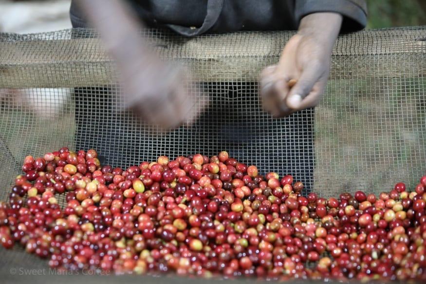 Coffee cherry being sorted by farmers before processing in the depulper machinery. Kibingo Station, Kayanza, Burundi.
