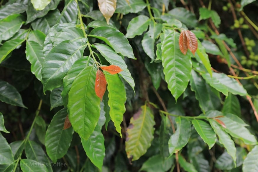 Timor Variety
