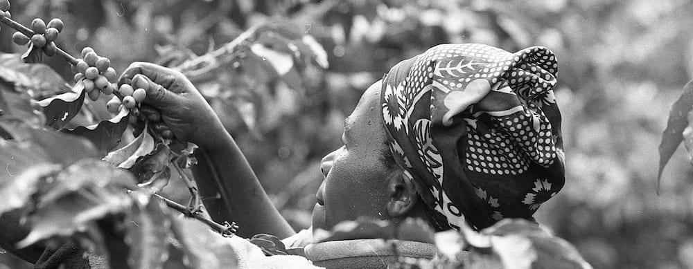 Harvesting coffee in Kiambu country, Kenya