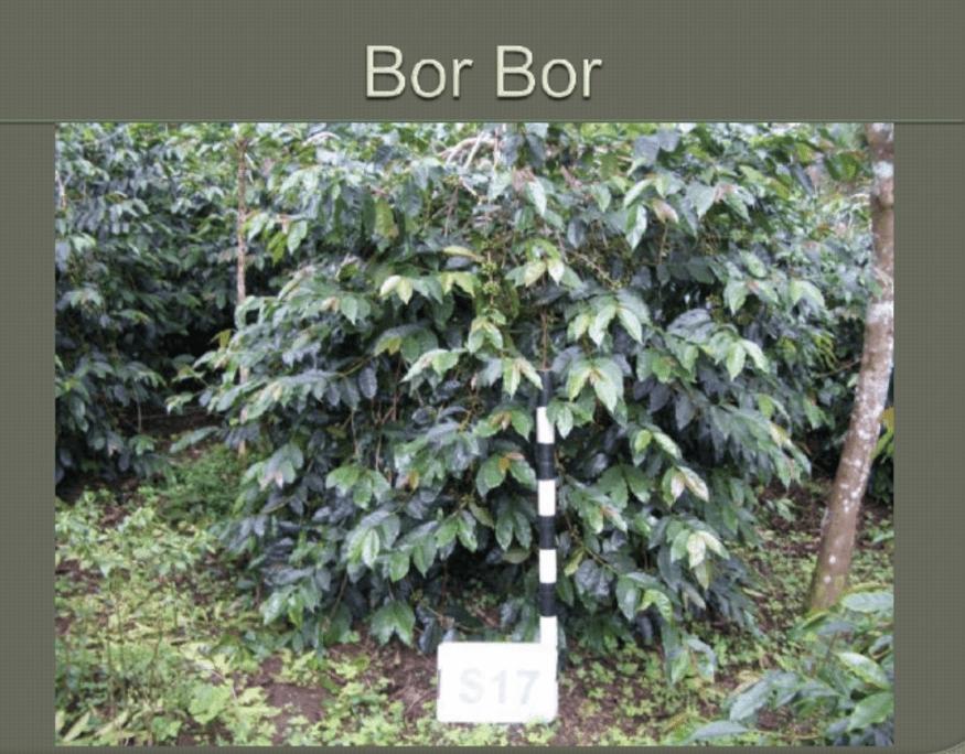 BorBor Coffee Variety