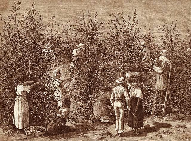 Coffee_Harvest_Indonesia_Lithograph