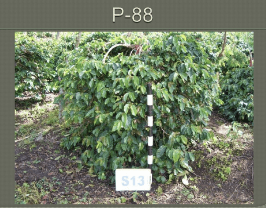 P-88 variety : Credit SCAAA Presentation
