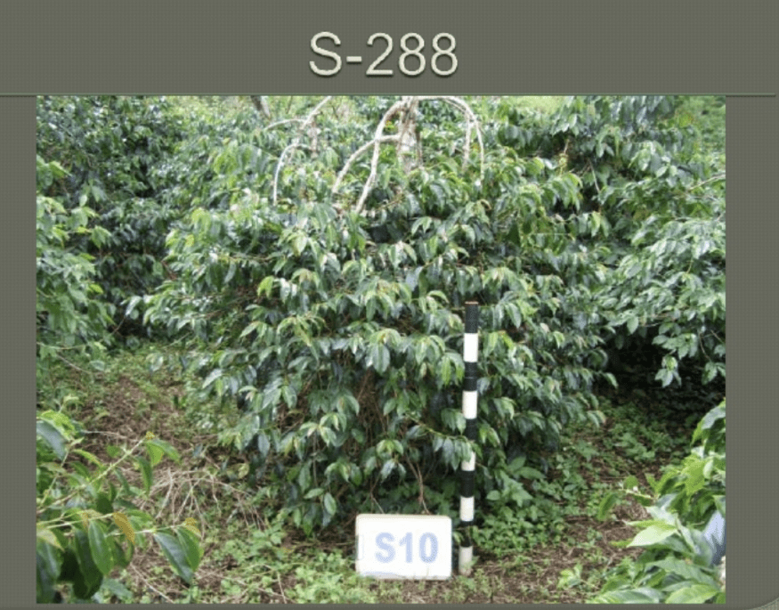 S-288 Coffee Variety: credit SCAA Presentation