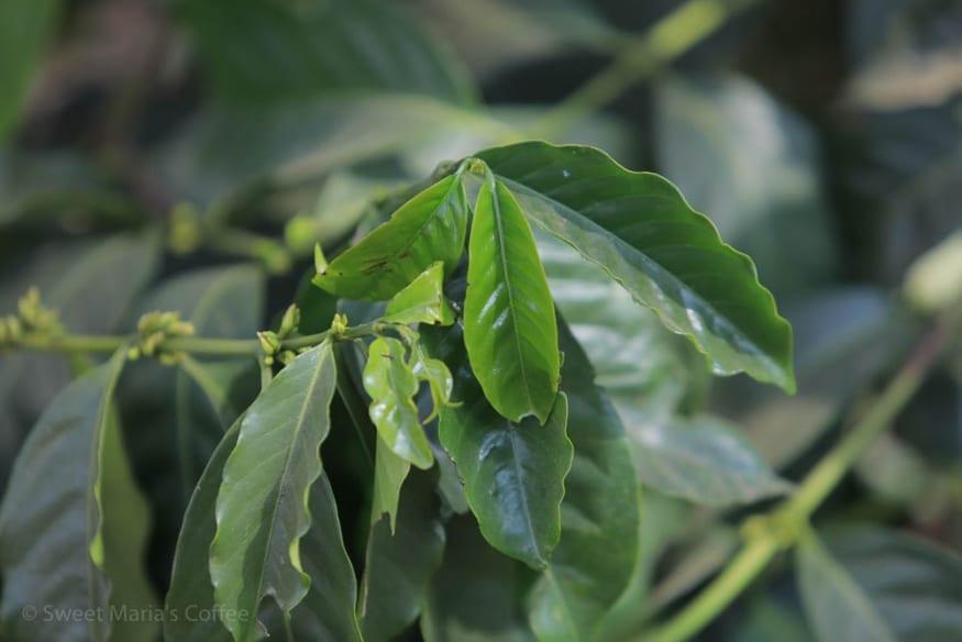 USDA Coffee Variety