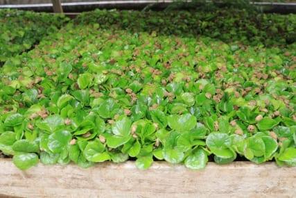 Sumatra: Arabica Varieties in Aceh