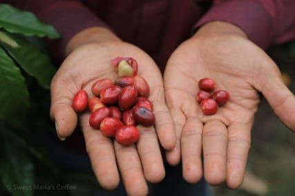 TimTim and Abyssina-3 Coffee Variety in Aceh , which is longer and larger