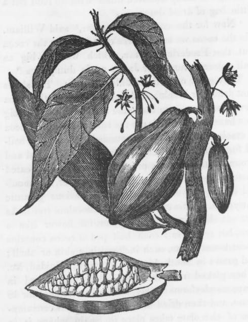 Botanical illustration of the cacao pod, leaf and branch.