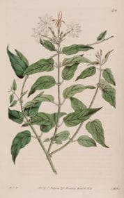 Jasmine- Botanical Art