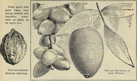 Nutty-Walnut