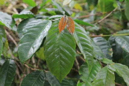 Rambung coffee variety or Abyssinia 7