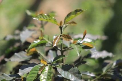 Sigara-Utang coffee variety