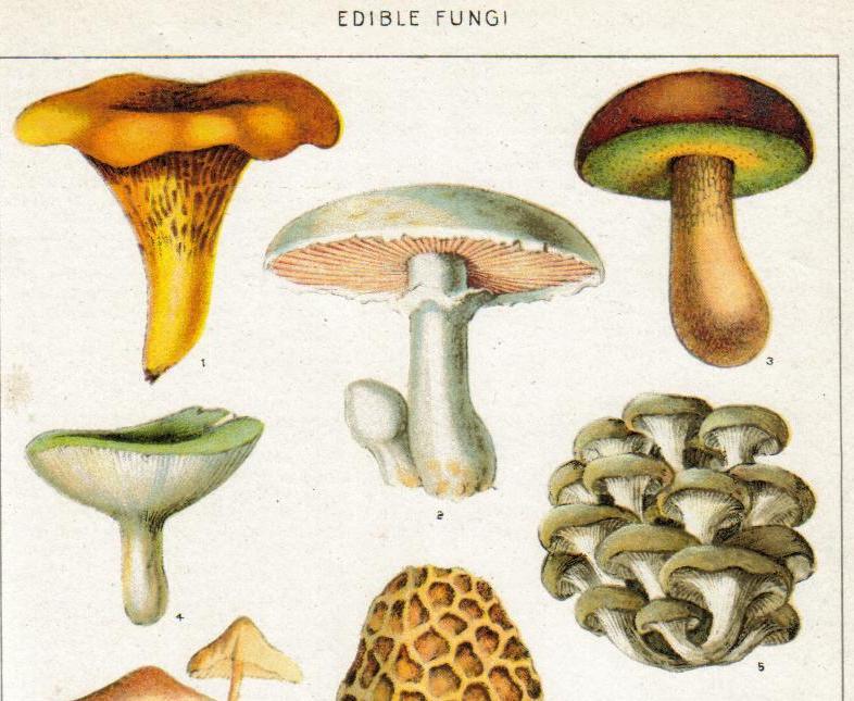 Umami-Mushroom