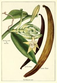 Vanilla bean botanical art