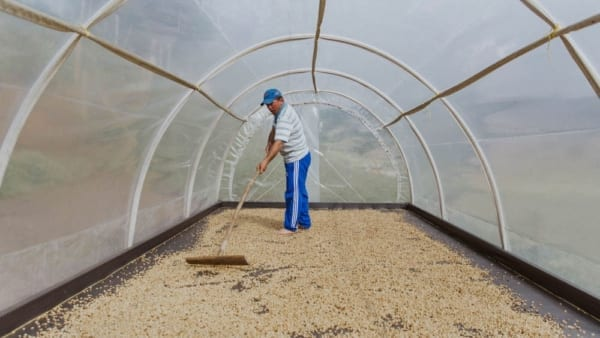 Antioquia, Urrao, Colombian coffee, parchment coffee, post harvest production