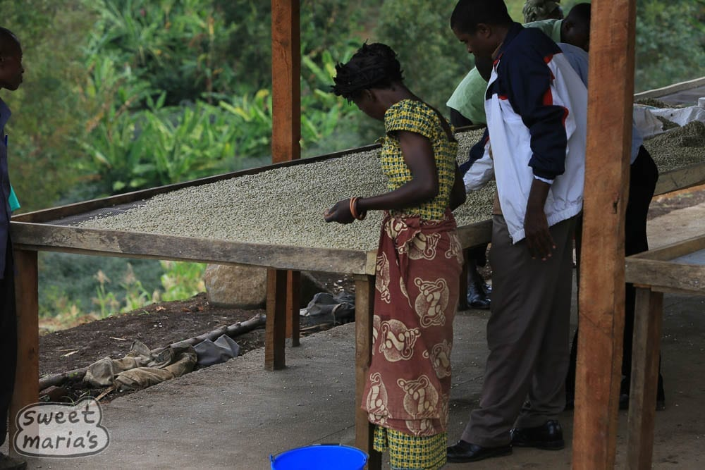 Sorting coffee, Congo