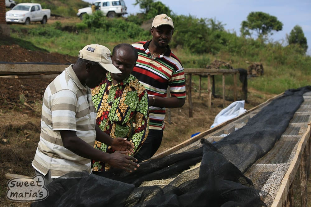 Visitors inspecting drying coffee beds Congo