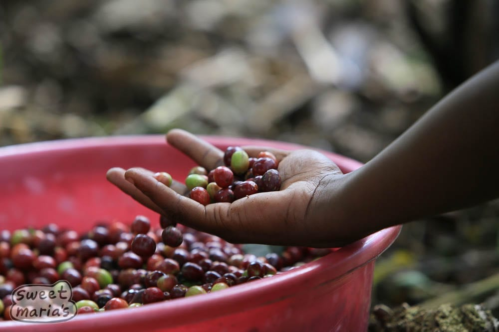 Coffee cherry being harvested Congo