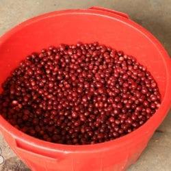 Luis Melchior, processing coffee at home, where he has Bourbon and , Mundo Novo cultivars