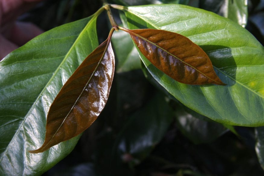 Java Cultivar, picture from Nicaragua