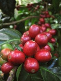 Caturra coffee fruit Matagalpa Nicaragua