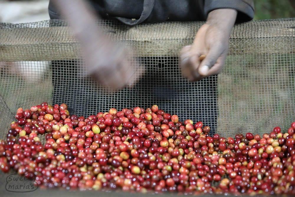 Kibingo Cherry Sorting