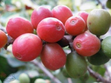 Yemen - Ismaili Coffee the Crown Jewel of Yemen?