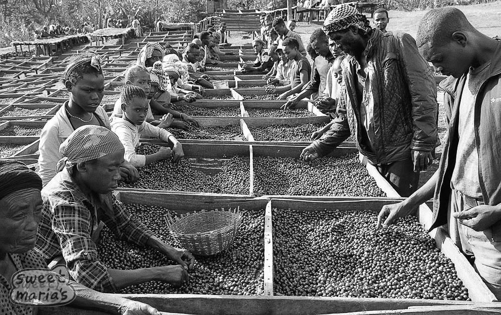 Sorting Coffee cherry in Sidama