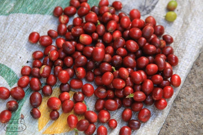 Glossy red ripe cherry at Carlos Imbachis Sweet Marias
