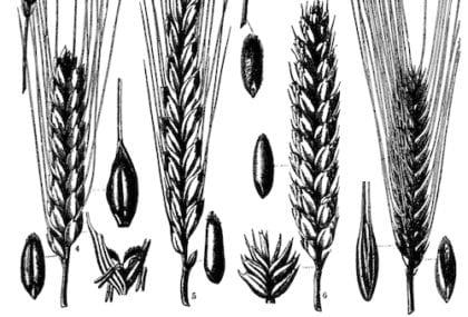 grain Grainy wheaty malty