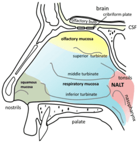 Olfactory_Anatomy_of_the_human_nasal_cavity