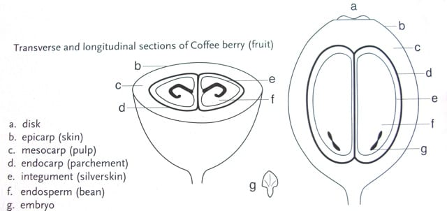 Layers of the coffee fruit: endosperm (the green seed/bean), endocarp, mesocarp, exocarp.