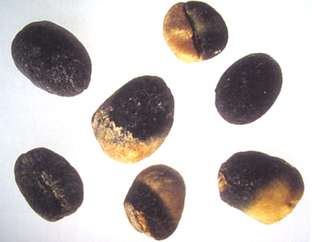 Black beans and partial black beans. These occur due to fungal attack, and create a highly defective taste in the cup. In coffee grading the full black bean is the basis for scoring all other defects.