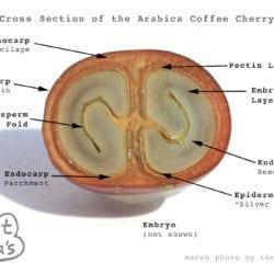 Arabica Coffee Cherry Cross Section