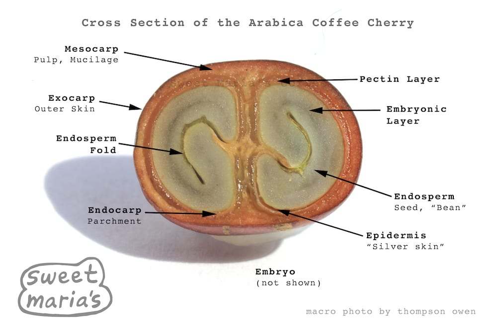 Arabica Coffee Cherry Cross Section - Sweet Maria's Coffee Library