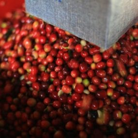 Costa Rica Helsar coffee cherry cascara - the fruit the cascara comes from